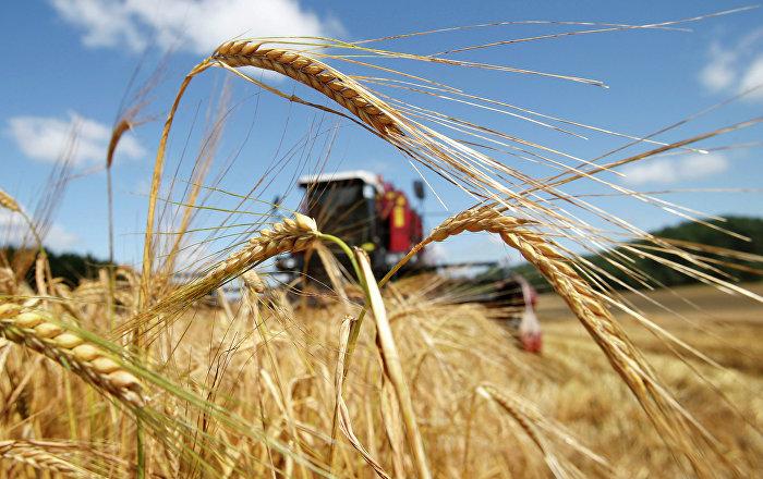 Пшеница из Сербии